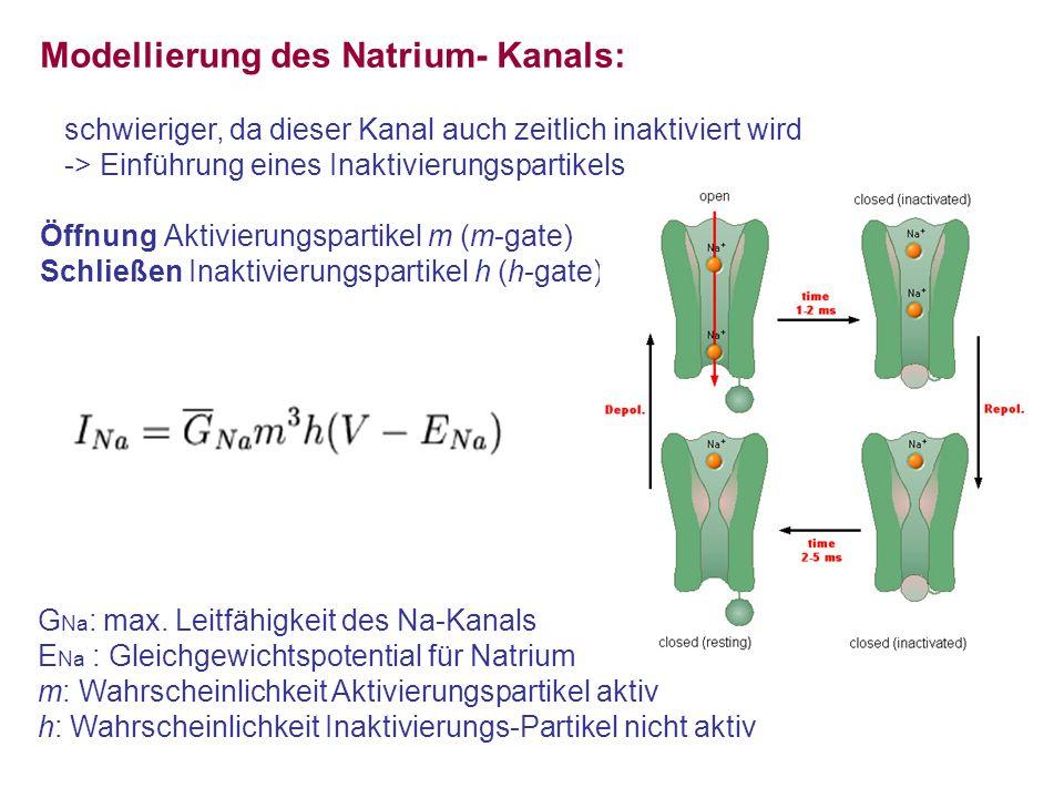 Modellierung des Natrium- Kanals: