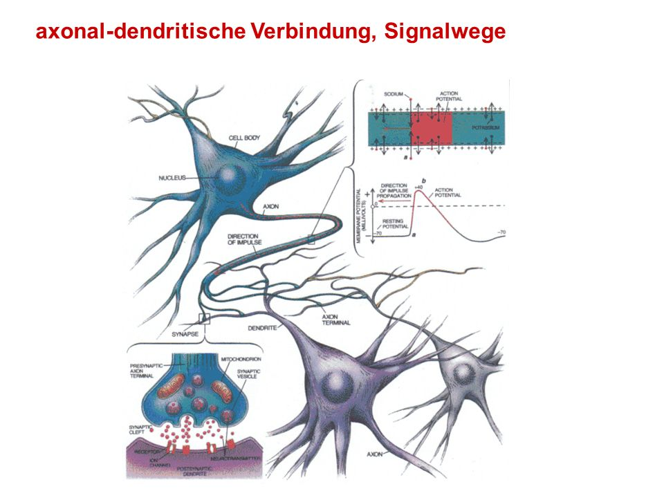 axonal-dendritische Verbindung, Signalwege