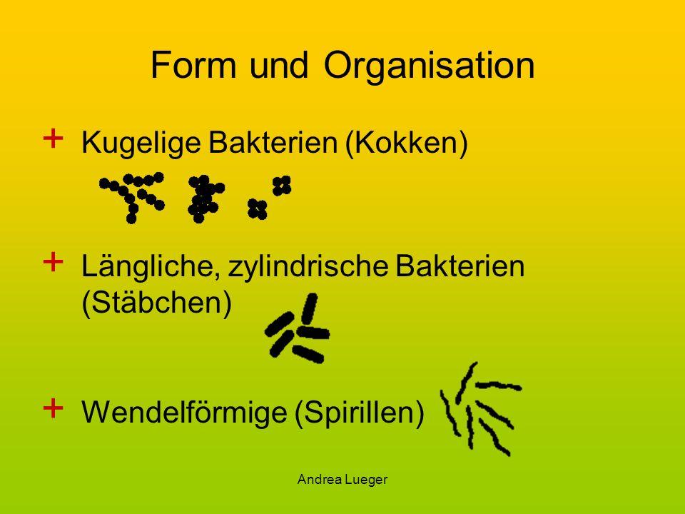 Form und Organisation Kugelige Bakterien (Kokken)