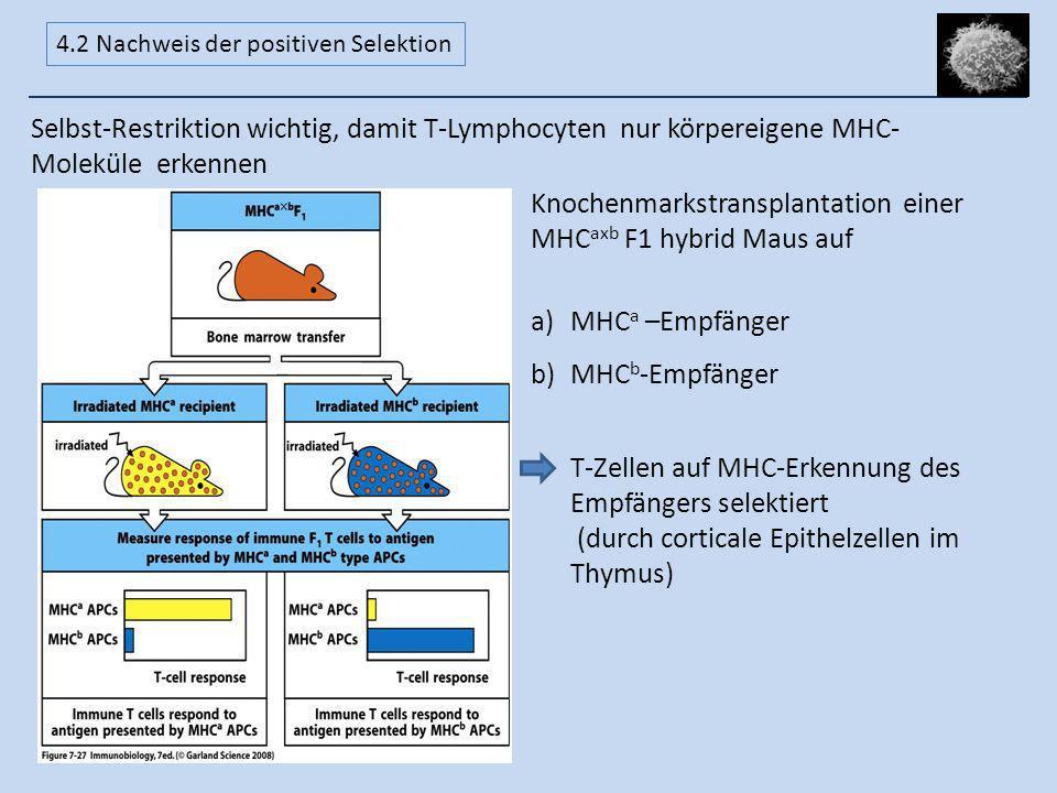 Knochenmarkstransplantation einer MHCaxb F1 hybrid Maus auf