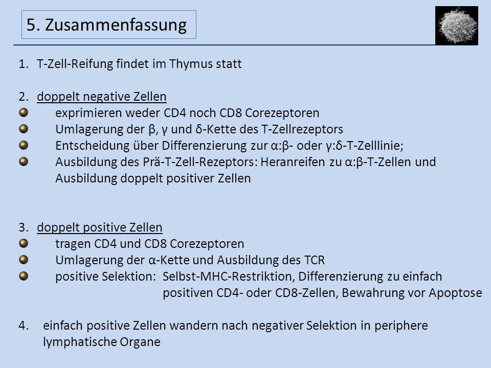 5. Zusammenfassung T-Zell-Reifung findet im Thymus statt