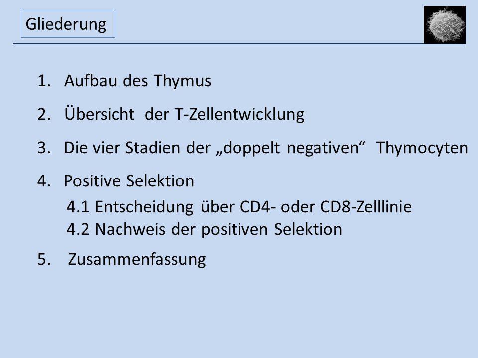 """Gliederung Aufbau des Thymus. Übersicht der T-Zellentwicklung. Die vier Stadien der """"doppelt negativen Thymocyten."""