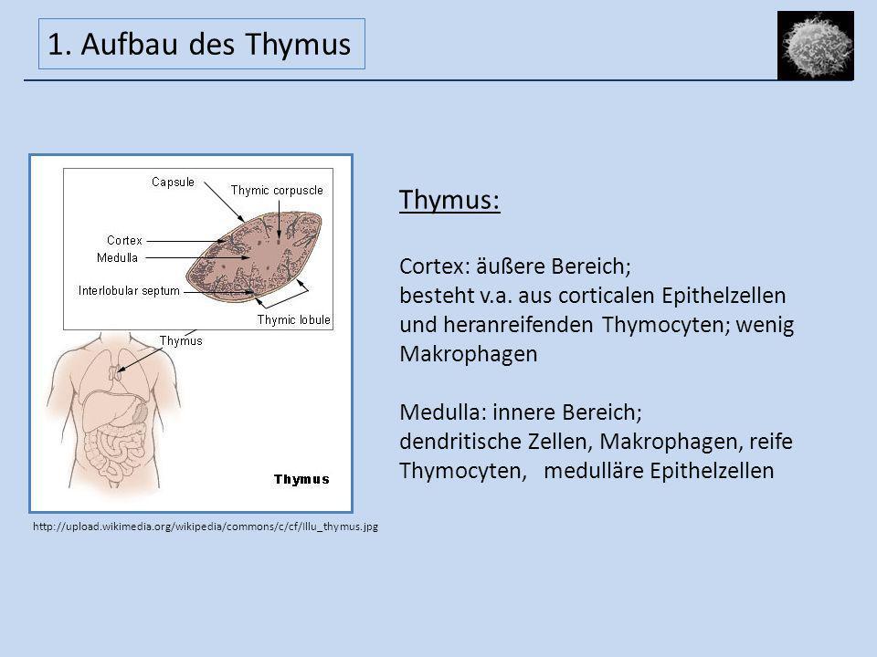 1. Aufbau des Thymus Thymus: Cortex: äußere Bereich;