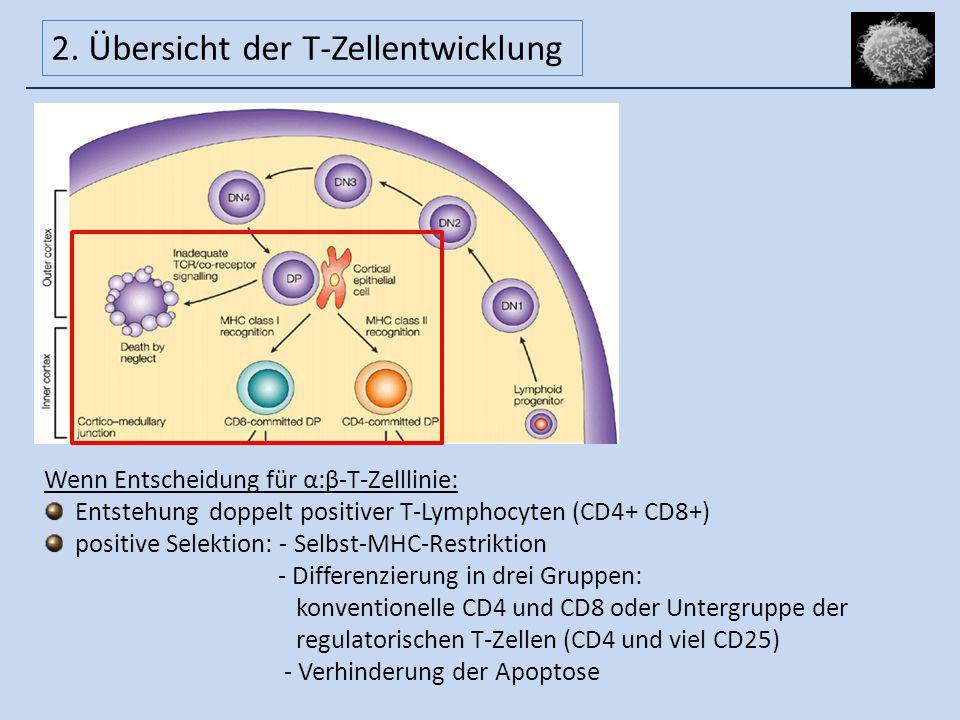2. Übersicht der T-Zellentwicklung