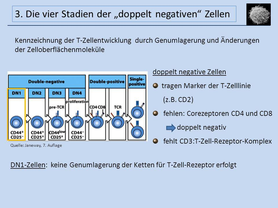 """3. Die vier Stadien der """"doppelt negativen Zellen"""