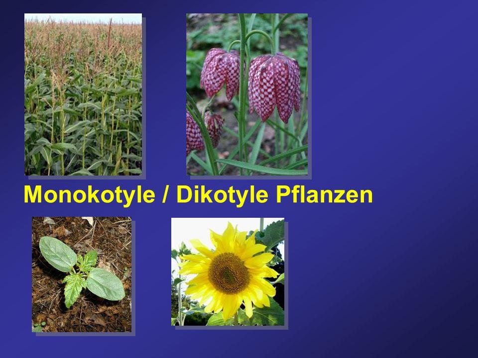 Monokotyle / Dikotyle Pflanzen
