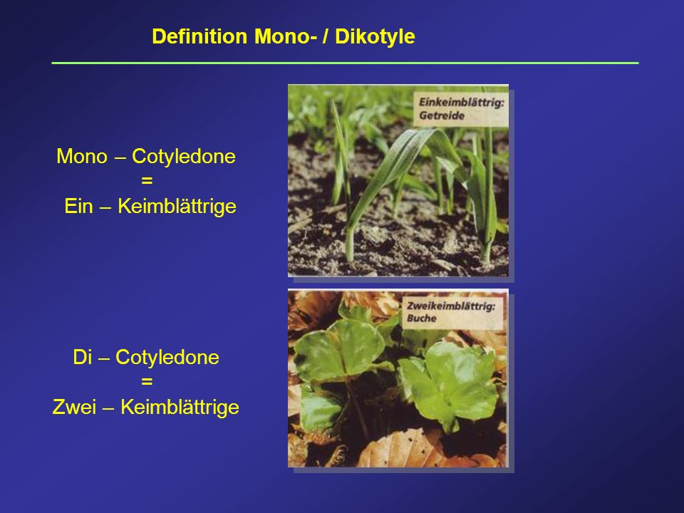 Definition Mono- / Dikotyle