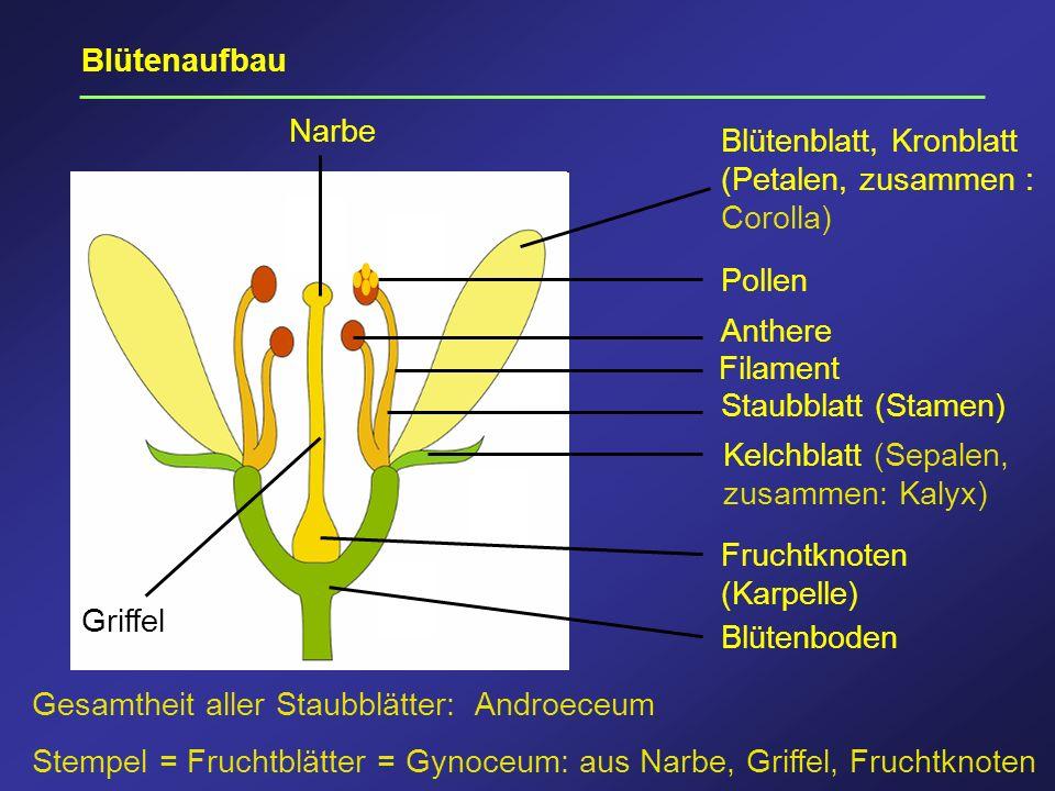 Blütenaufbau Narbe. Blütenblatt, Kronblatt (Petalen, zusammen : Corolla) Pollen. Anthere. Filament.