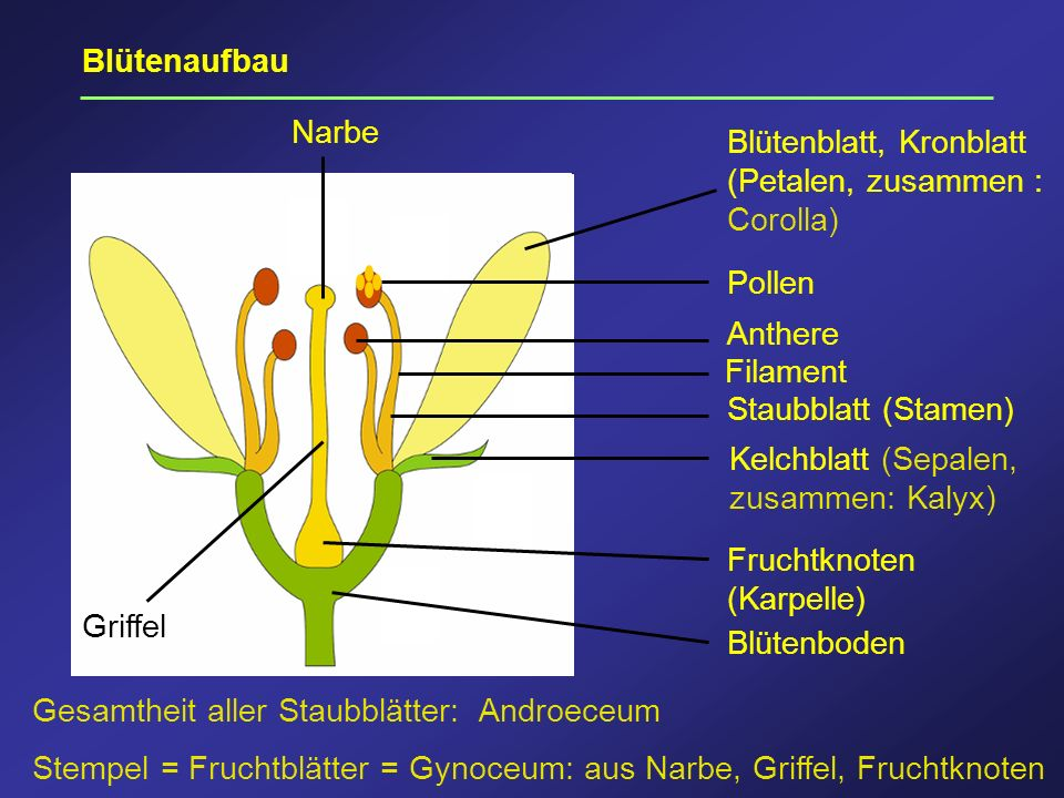 BlütenaufbauNarbe. Blütenblatt, Kronblatt (Petalen, zusammen : Corolla) Pollen. Anthere. Filament. Staubblatt (Stamen)