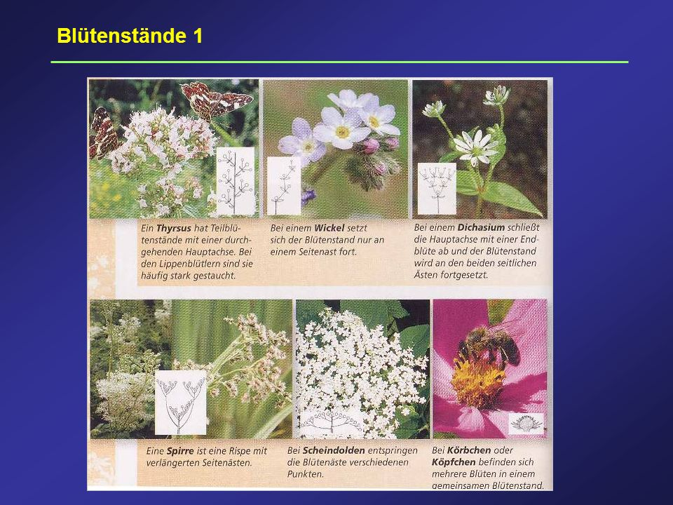 Blütenstände 1