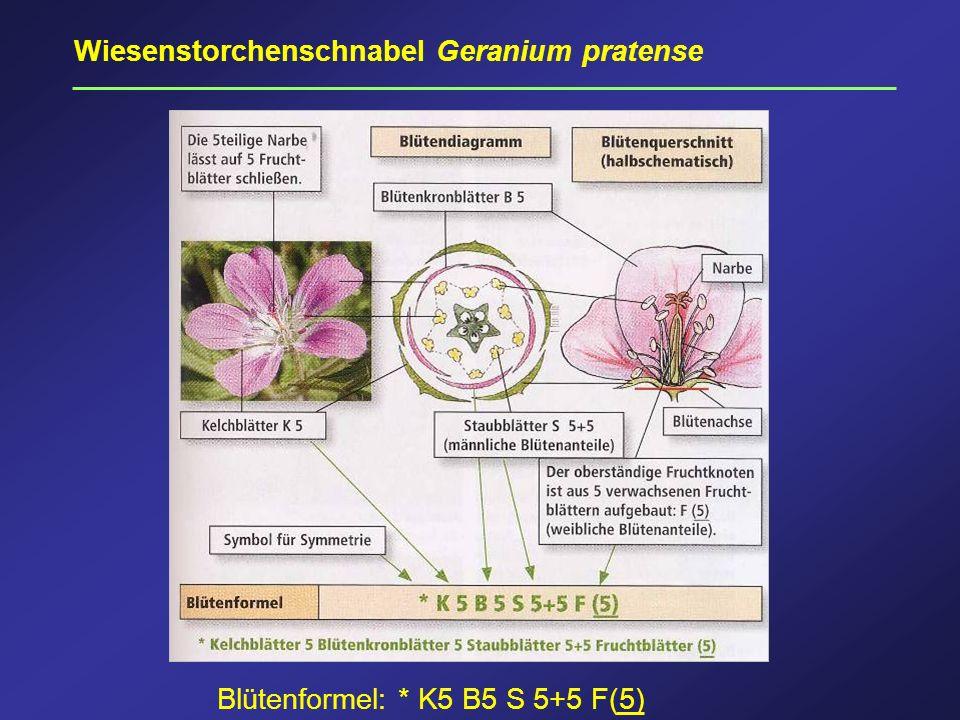 Wiesenstorchenschnabel Geranium pratense