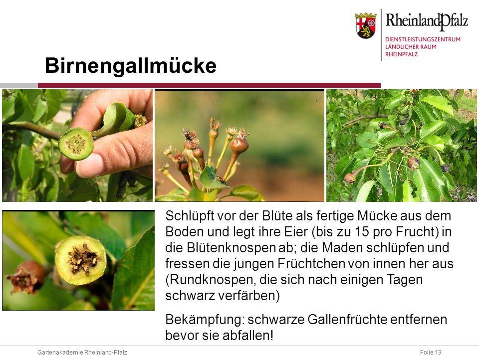 Birnengallmücke