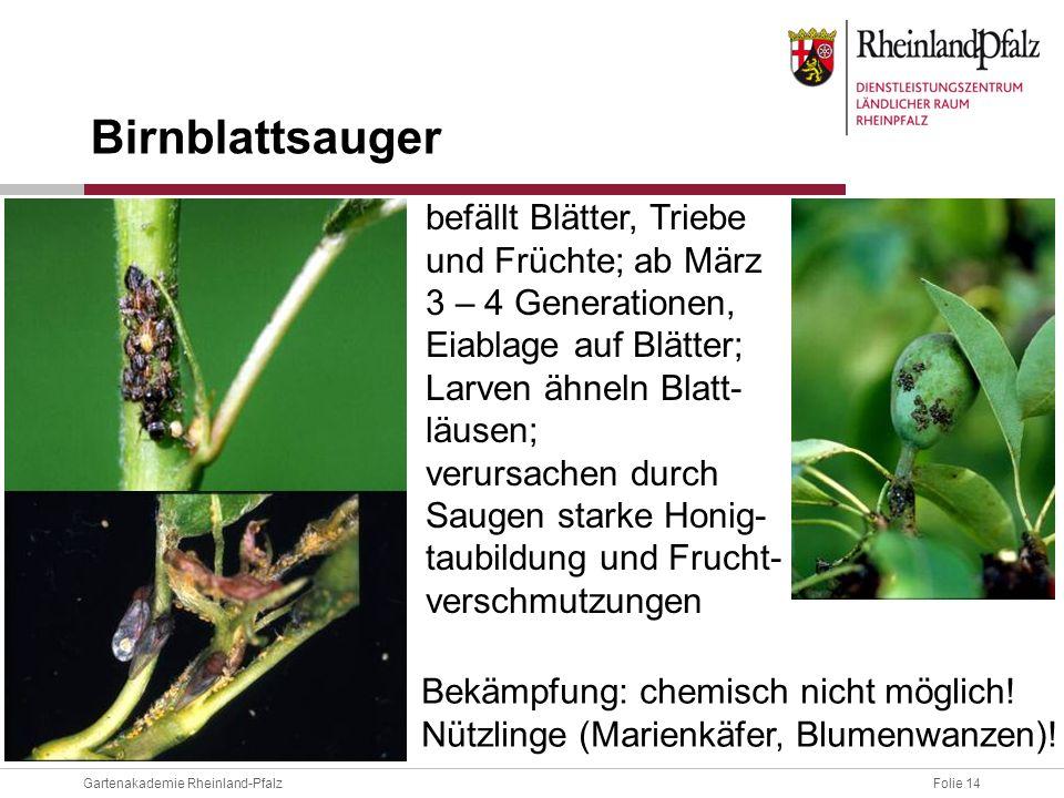 Birnblattsauger befällt Blätter, Triebe und Früchte; ab März 3 – 4 Generationen, Eiablage auf Blätter; Larven ähneln Blatt-läusen;