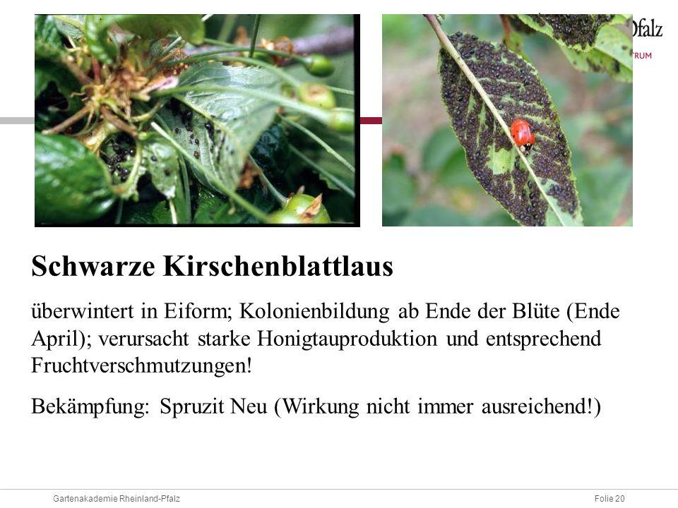 Schwarze Kirschenblattlaus