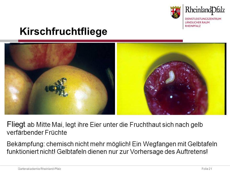 Kirschfruchtfliege Fliegt ab Mitte Mai, legt ihre Eier unter die Fruchthaut sich nach gelb verfärbender Früchte.