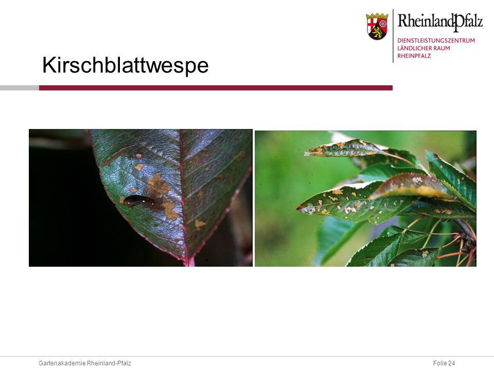 Kirschblattwespe