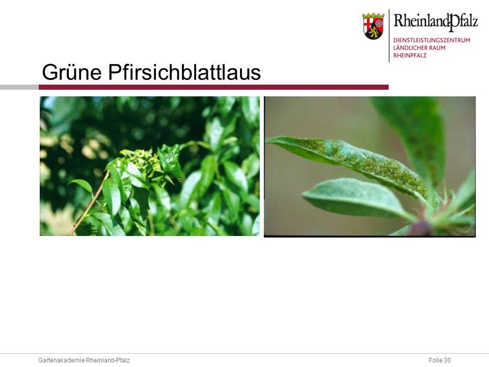 Grüne Pfirsichblattlaus