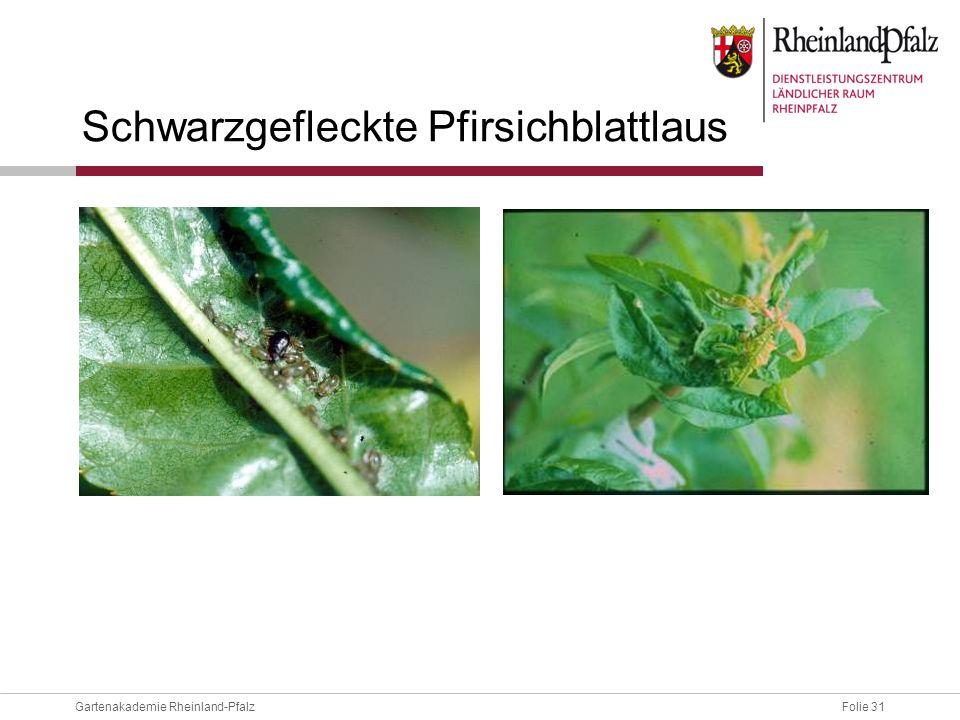 Schwarzgefleckte Pfirsichblattlaus