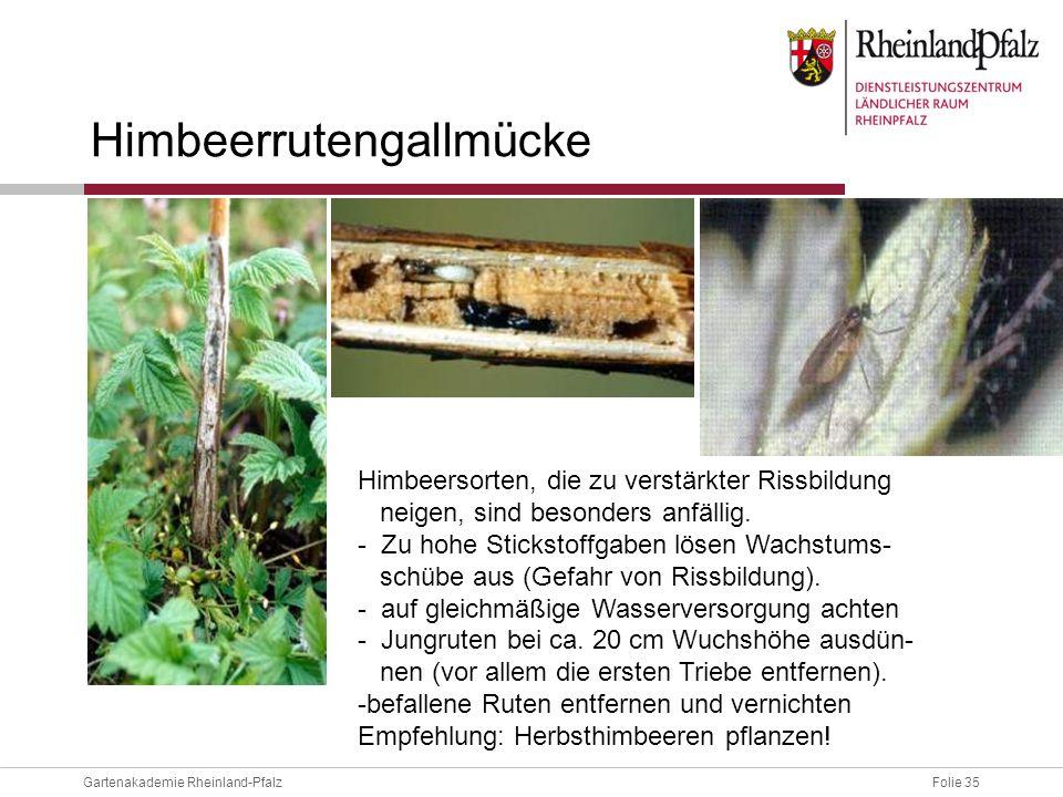Himbeerrutengallmücke
