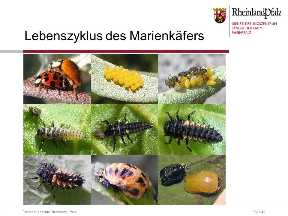 Lebenszyklus des Marienkäfers
