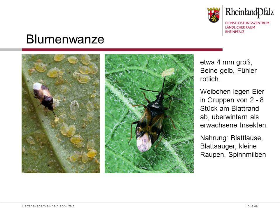 Blumenwanze etwa 4 mm groß, Beine gelb, Fühler rötlich.