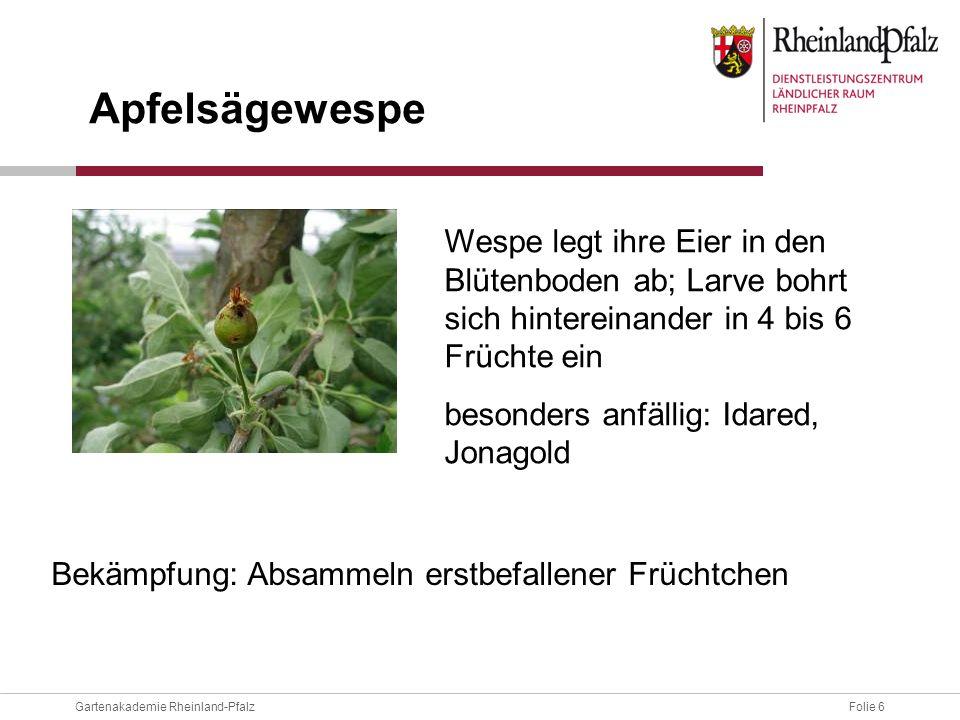 ApfelsägewespeWespe legt ihre Eier in den Blütenboden ab; Larve bohrt sich hintereinander in 4 bis 6 Früchte ein.