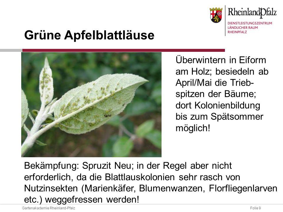 Grüne Apfelblattläuse