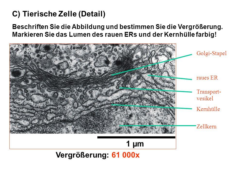 C) Tierische Zelle (Detail)