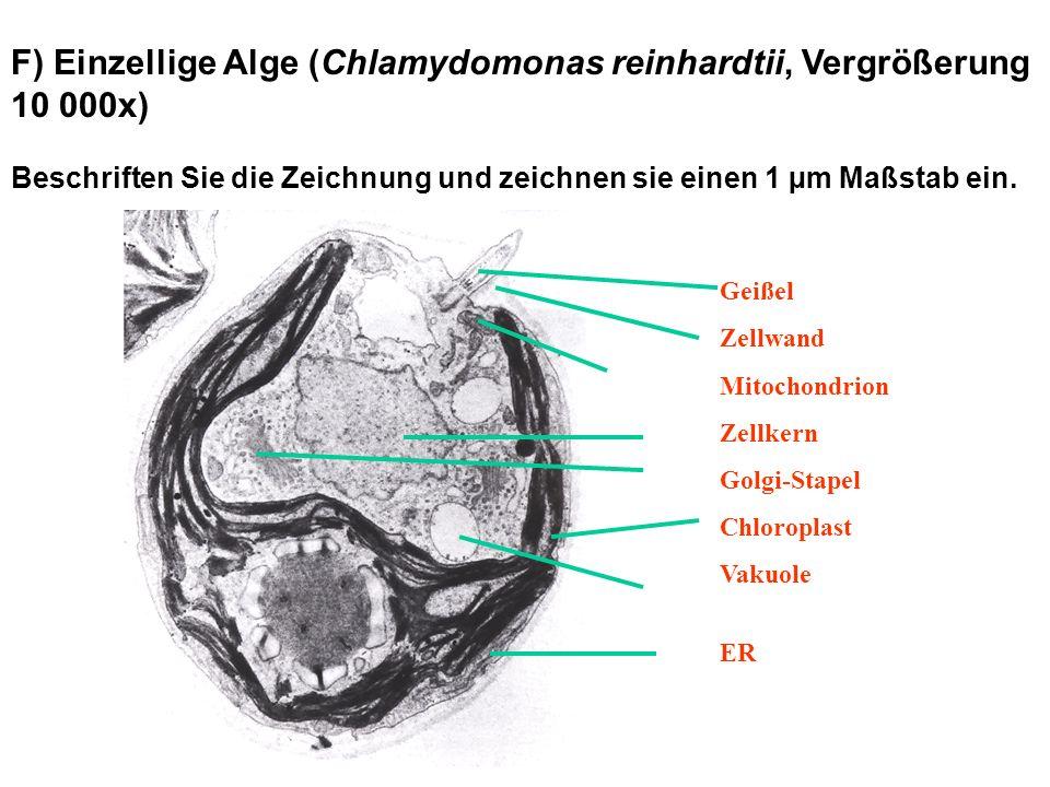 F) Einzellige Alge (Chlamydomonas reinhardtii, Vergrößerung 10 000x)