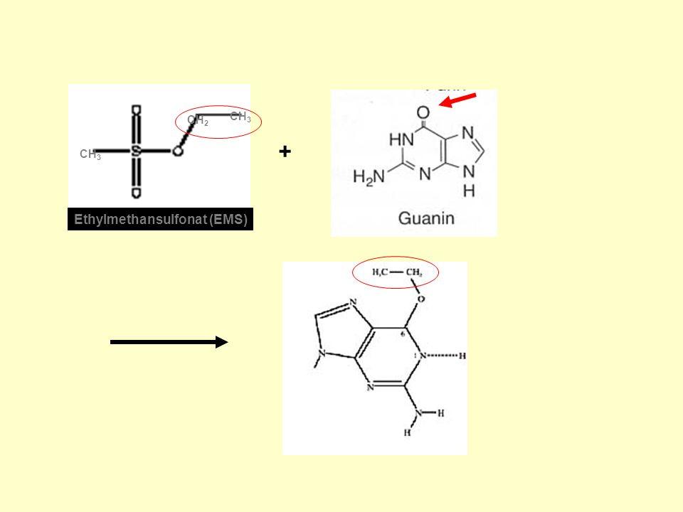 CH2 CH3 + CH3 Ethylmethansulfonat (EMS)