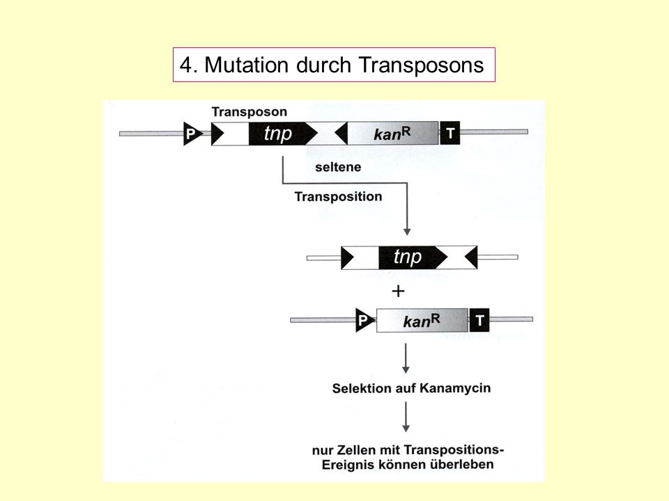 4. Mutation durch Transposons