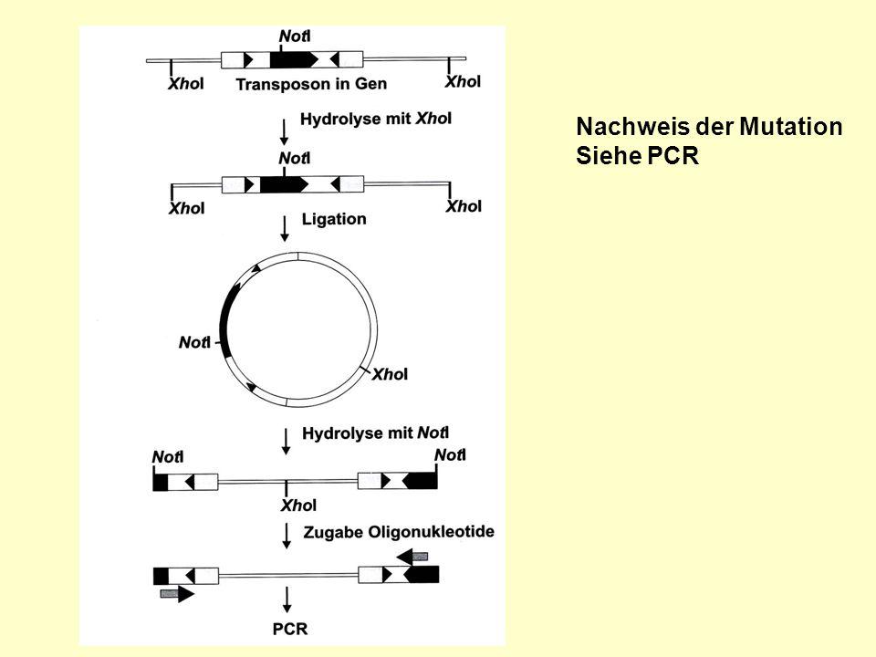 Nachweis der Mutation Siehe PCR Kempken2.31