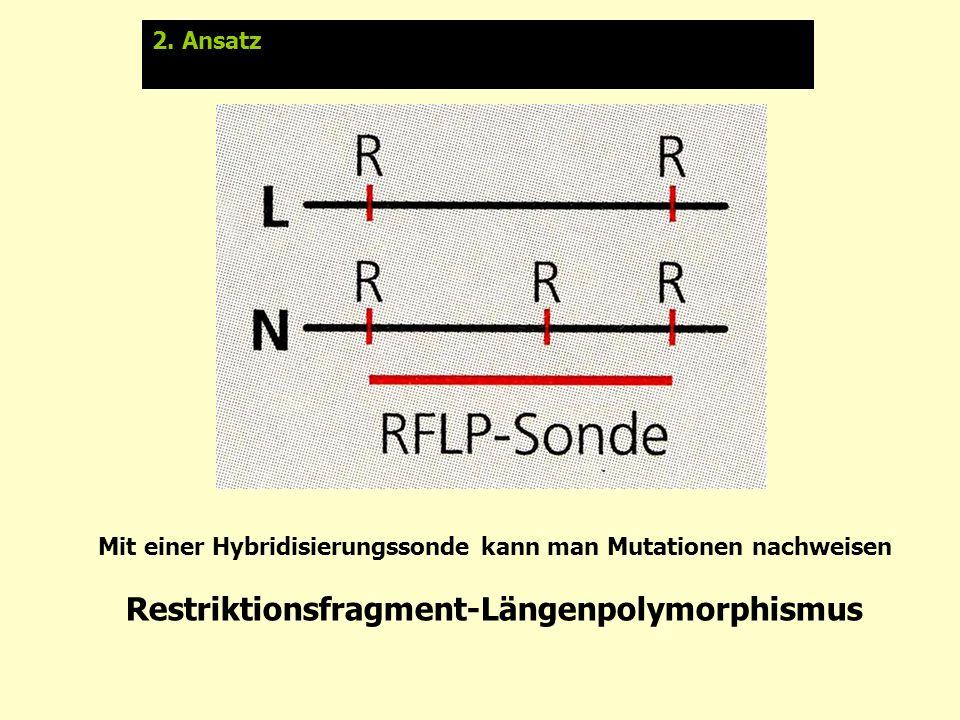 Restriktionsfragment-Längenpolymorphismus