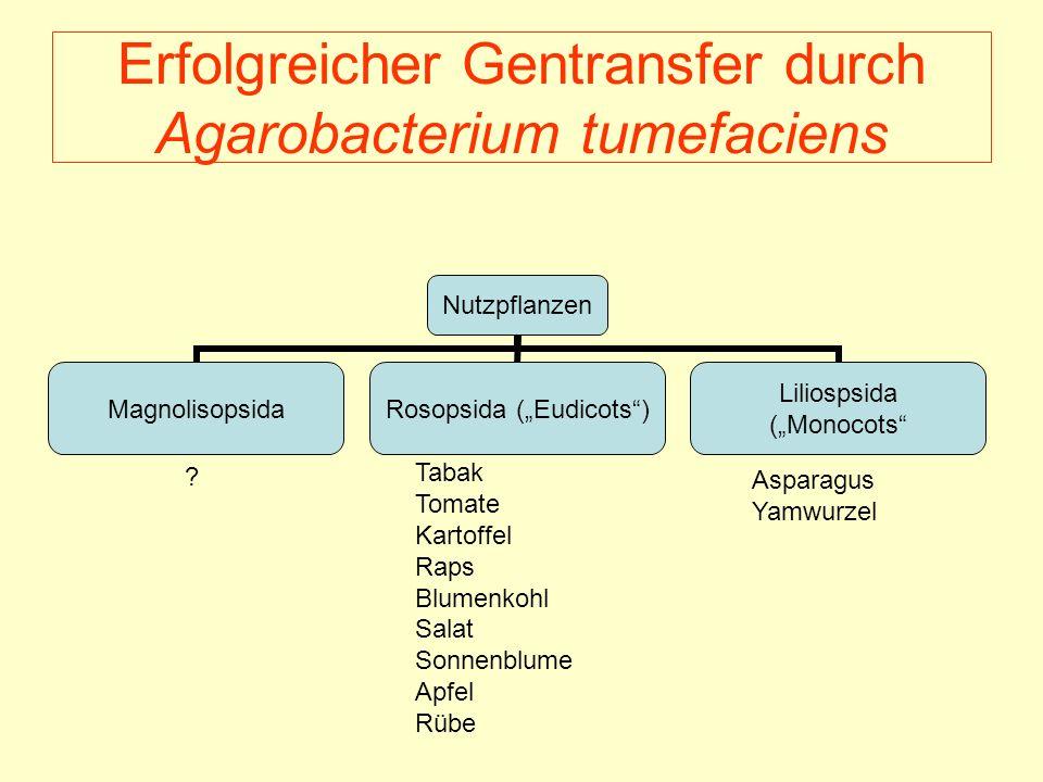 Erfolgreicher Gentransfer durch Agarobacterium tumefaciens