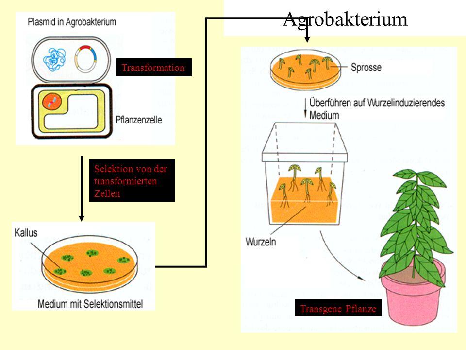 Agrobakterium Transformation Selektion von der transformierten Zellen