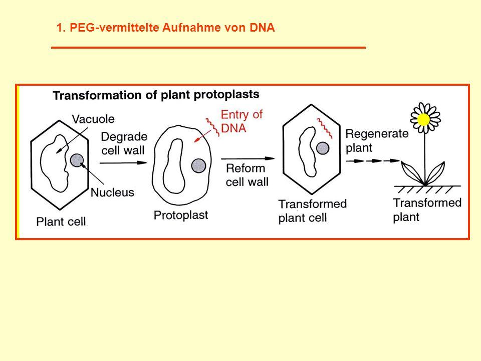 1. PEG-vermittelte Aufnahme von DNA