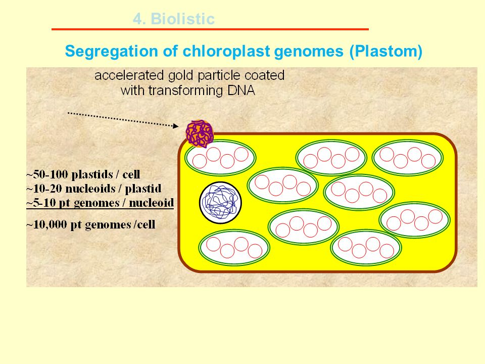 Segregation of chloroplast genomes (Plastom)
