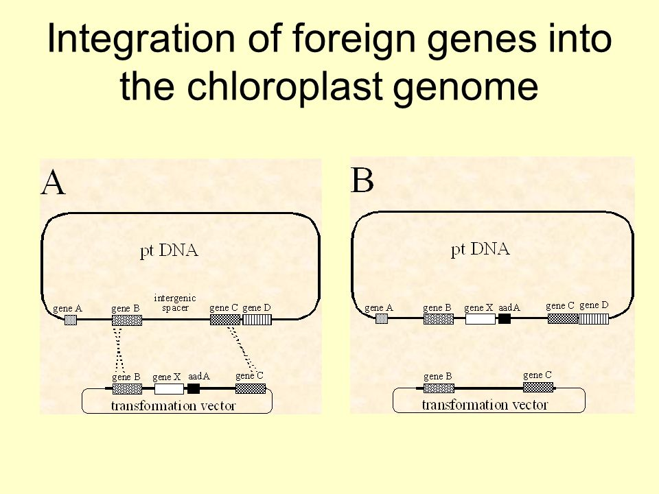 Integration of foreign genes into the chloroplast genome