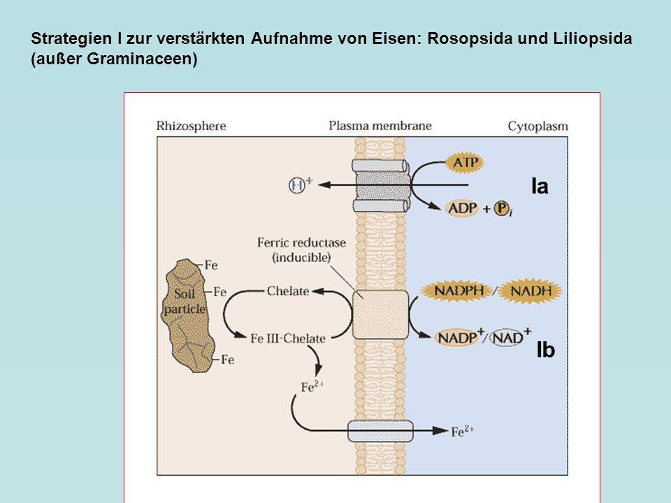 Strategien I zur verstärkten Aufnahme von Eisen: Rosopsida und Liliopsida