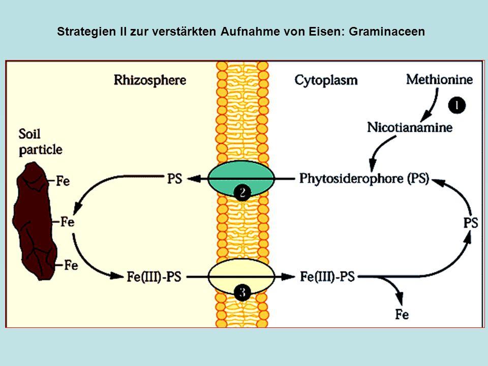 Strategien II zur verstärkten Aufnahme von Eisen: Graminaceen