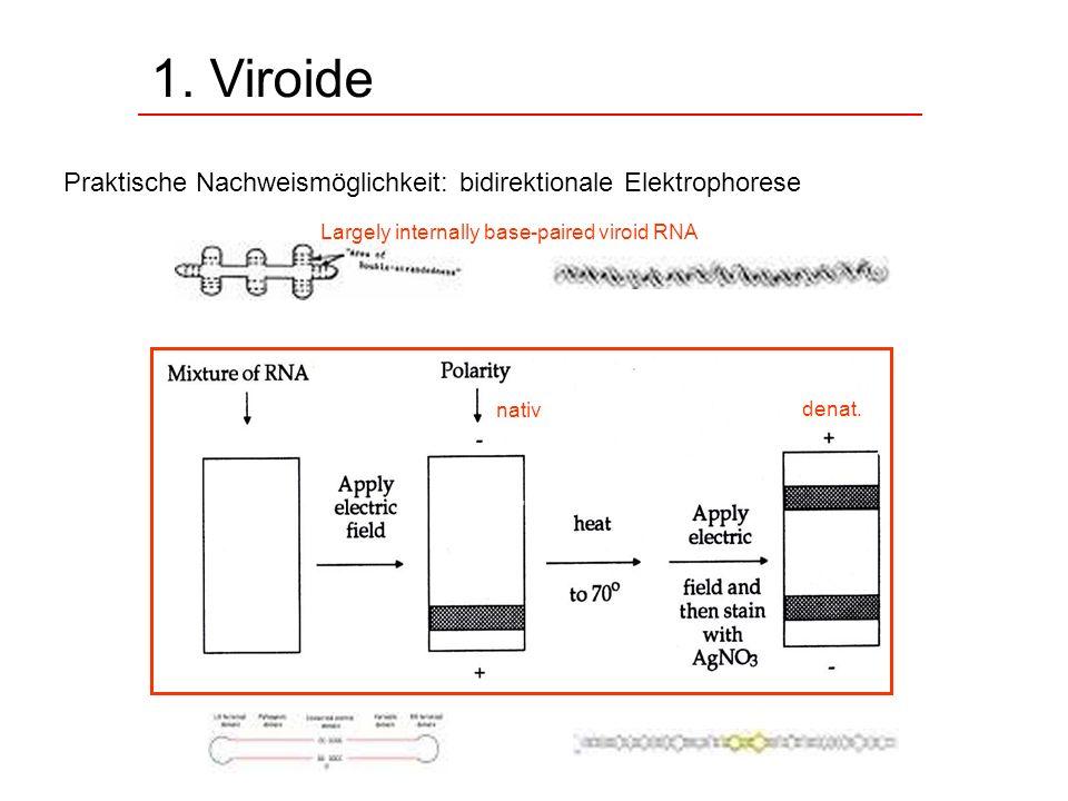 1. Viroide Praktische Nachweismöglichkeit: bidirektionale Elektrophorese. Largely internally base-paired viroid RNA.