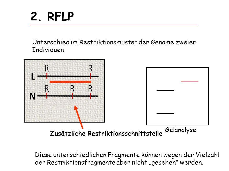 2. RFLP Unterschied im Restriktionsmuster der Genome zweier Individuen