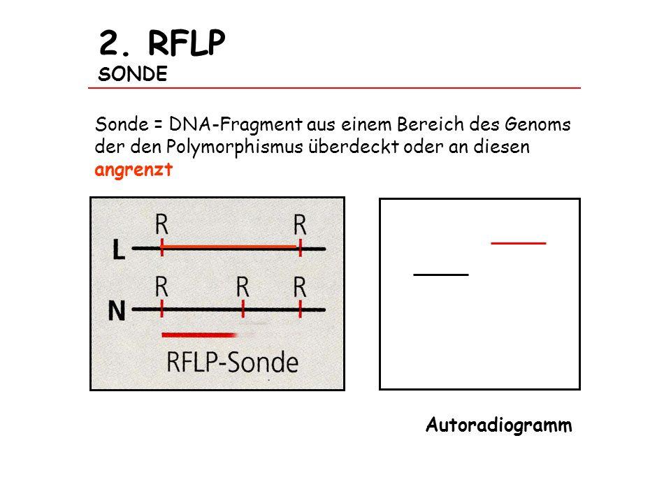 2. RFLP SONDE Sonde = DNA-Fragment aus einem Bereich des Genoms der den Polymorphismus überdeckt oder an diesen angrenzt.