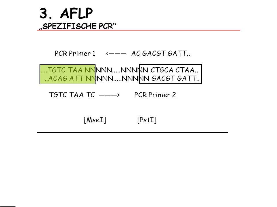 "3. AFLP ""SPEZIFISCHE PCR"