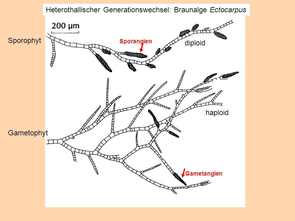 Heterothallischer Generationswechsel: Braunalge Ectocarpus