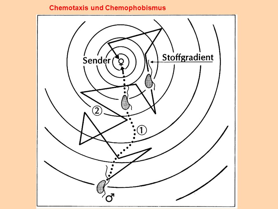 Chemotaxis und Chemophobismus