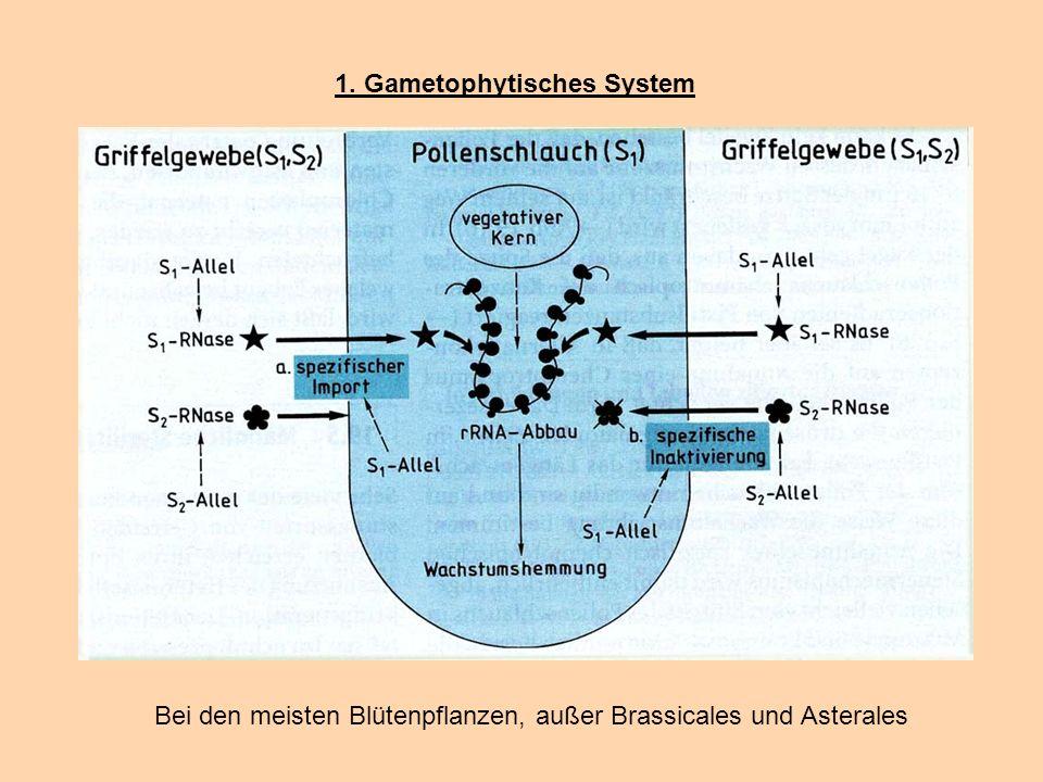1. Gametophytisches System