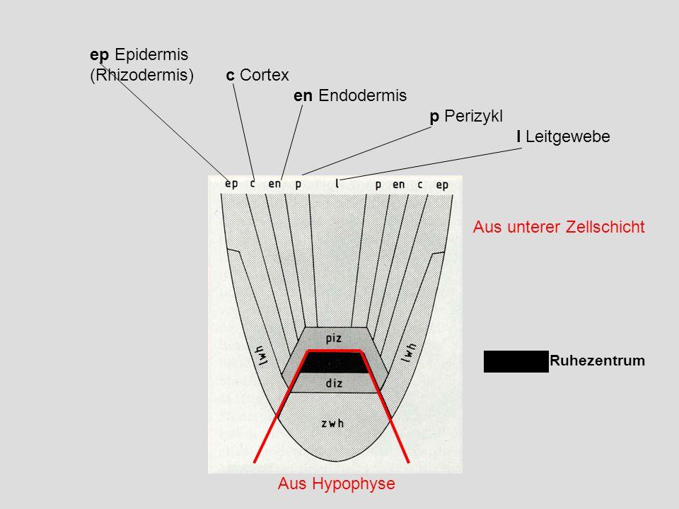 (Rhizodermis) c Cortex en Endodermis p Perizykl l Leitgewebe