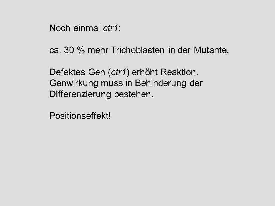 Noch einmal ctr1: ca. 30 % mehr Trichoblasten in der Mutante. Defektes Gen (ctr1) erhöht Reaktion.