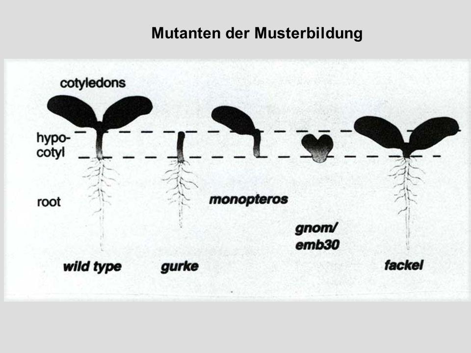 Mutanten der Musterbildung
